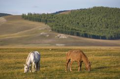 Mongolian horses in a landscape of northern mongolia Stock Image