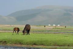 Mongolian horses. Royalty Free Stock Photography