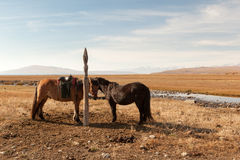 Mongolian horses tethered Royalty Free Stock Images