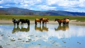 Mongolian horses in vast grassland, mongolia. Mongolian horses in vast grassland standing in water, mongolia stock images