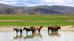 mongolian horses in vast grassland, mongolia Royalty Free Stock Images