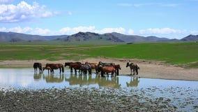 Mongolian horses in vast grassland, mongolia stock video