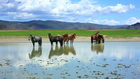 Mongolian horses in vast grassland, mongolia stock video
