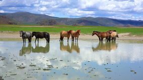 Mongolian horses in vast grassland, mongolia stock footage