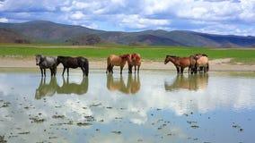 mongolian horses in vast grassland, mongolia stock footage