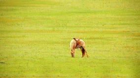 mongolian horses in vast grassland, mongolia stock video footage