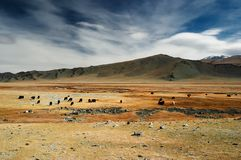 Mongolian landscape. Grazing yaks in mongolian desert Stock Photos