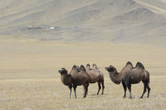 Mongolian landscape with camels 2 Stock Image