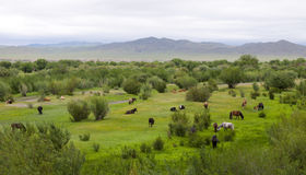 Mongolian Landscape with Horses Royalty Free Stock Photos