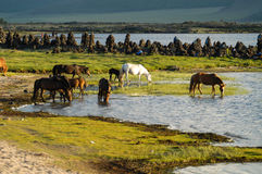 Mongolian landscape with horses Royalty Free Stock Photography