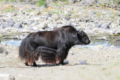 Mongolian long-haired mountain bull on the Bank of a mountain ri Royalty Free Stock Image