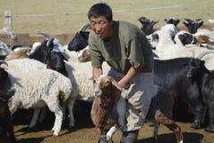 Mongolian man recalculates sheep before cutting wool for felt, circa Harhorin, Mongolia. Royalty Free Stock Photo