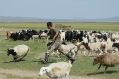 Mongolian man recalculates sheep before cutting wool for felt, circa Harhorin, Mongolia. Stock Photo