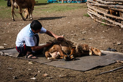 Mongolian Man Shearing Sheep. A mongolian man shearing a sheep Royalty Free Stock Photos