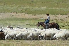 Mongolian man tends herd of sheep, circa Harhorin, Mongolia. Royalty Free Stock Photography