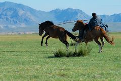 Mongolian man wearing traditional costume catches young wild horse in a steppe in Kharkhorin, Mongolia. royalty free stock images