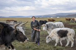 Mongolian woman milking a cow Royalty Free Stock Image