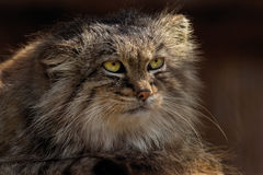 Mongolian Pallas`s Cat Royalty Free Stock Photography