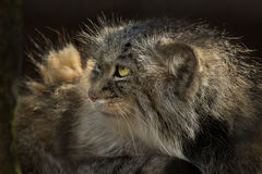 Mongolian Pallas`s Cat Royalty Free Stock Photography