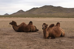 Mongolian pets. Two camels in mongolian desert area Stock Photography