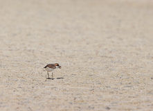 Mongolian Plover with crab Stock Photography