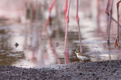 A Mongolian Plover among legs Royalty Free Stock Image