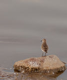 Mongolian Plover on a rock Royalty Free Stock Photography
