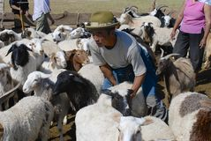 Mongolian recalculates sheep before cutting wool for felt, circa Harhorin, Mongolia. Stock Images