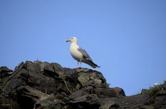 Mongolian seagull royalty free stock images