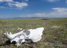 Mongolian steppe with cow skull Royalty Free Stock Photos