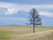 Mongolian steppe with lonely tree Stock Photos