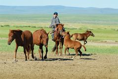 Mongolian teenager wearing traditional costume catches baby wild horse in steppe in Kharkhorin, Mongolia. stock photo
