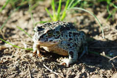 Mongolian toad Royalty Free Stock Images