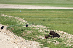 Mongolian Vulture Eating Roadkill. A black vulture eats a carcass on the side of the road as a small hawk and a couple ravens look on Stock Photography