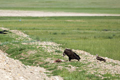Mongolian Vulture Eating Roadkill. A black vulture eats a carcass on the side of the road as a small hawk looks on Royalty Free Stock Photo