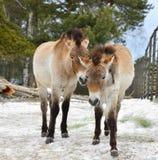 Mongolian wild ass Equus hemionus hemionus, also known as Mongolian khulan. In Finland Stock Photo