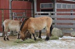 Mongolian wild Equus hemionus hemionus, also known as Mongolian khulan stock images