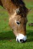 Mongolian Wild Horse Royalty Free Stock Image