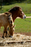 Mongolian Wild Horse Royalty Free Stock Images