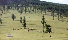 Mongolian wild horses Stock Photo