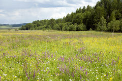 Mongolian Wildflowers. Brightly colored wildflowers on the Mongolian steppes with a small forest in the background Stock Images