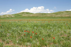 Mongolian Wildflowers. Bright red lilies scattered across the vast steppe landscape in northern central Mongolia Royalty Free Stock Image