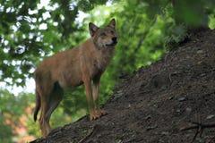 Mongolian wolf stock photography