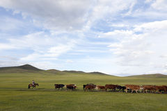 Mongolian Woman Herding Cattle Royalty Free Stock Photo