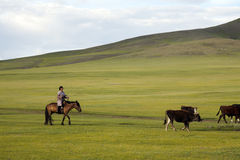 Mongolian Woman Herding Cattle. A woman herding a small group of cattle across the Mongolian steppes Royalty Free Stock Images