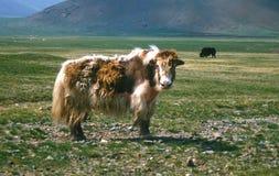 Mongolian yak. Yak on pasture in Mongolia Stock Photos