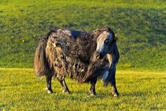 Mongolian Yak Stock Photo