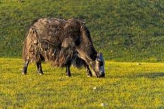 Mongolian Yak Stock Photography