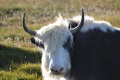 Mongolian Yak. This Yak is part of a big herd roming freely over the mongolian steps. they have a owner but they keep there freedom Royalty Free Stock Image