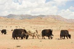 Mongolian yaks. Stock Images